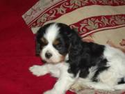 Gyönyörű Cavalier King Charles spániel kiskutyák eladók!