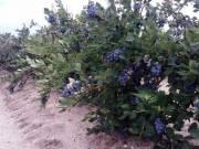 Kék áfonya bokrok eladók