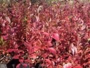Fekete áfonya tő 11 fajta eladó