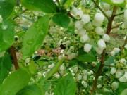 11 fajta fekete áfonya tő , áfonya bokor, áfonya cserje