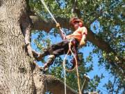 Magas fák kivágása láncfűrésszel