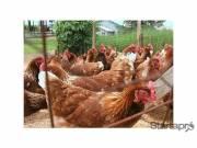 Előnevelt csirke akció! fotó