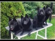 Schipperke kutyusok eladóak