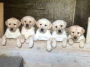 Eladó labrador retriever kiskutyák Kecskeméten