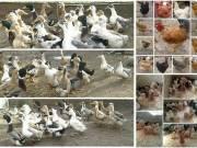 Napos kacsák és napos vegyes csibék kopasznyakú, búbos, stb. fotó