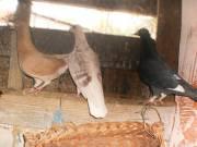 posta galamb fölszámolás miatt eladó fotó