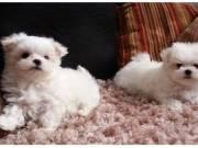 Aranyos és imádnivaló máltai kiskutyák