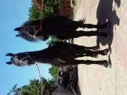Elado friz lovak 6 es 7es evesek toke szelidek bekocsis va belovagolva