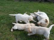 Labrador kiskutyák fotó