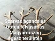 Szarvas agancs és trófea felvásárlás Magyarország egész területén. 06305804731