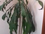 Szoba növény eladó