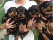 Eladó Rottweiler kiskutyák fotó