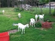 Alpesi szánentáli kecskék eladóak