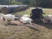 Szántentáli alpesi kecskék eladóak