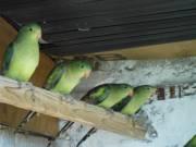 Eladó 7 darab hegyi papagáj