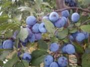 Őstermelőtől gyümölcsfa csemeték eladók