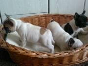 eladó francia bulldog kiskutyák