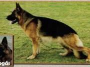 Németjuhász felnőtt és kölyök kutyák