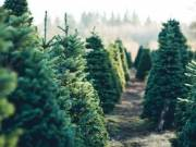 fenyőfa  elado  kis  és nagykereskedőknek