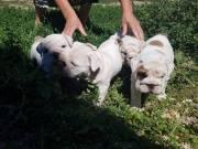 Angol bulldog kiskutyák eladók!