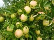 Étkezési alma
