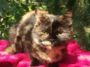 Brit cica lány eladó