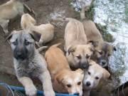 kaukázusi juhász német juhász amerikai buldog vérvonalú keverék kölykök felelős társat keresnek