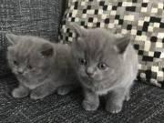 Brit rövidszőrű kiscicák