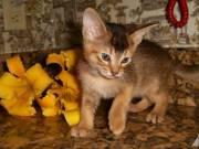 Abesszin cicák eladók
