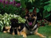 Németjuhász felnőtt és kölyök kutyák eladók