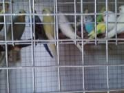 Papagáj eladó.