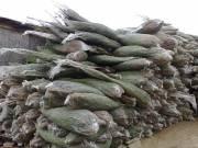 Lucfenyő, ezüstfenyő, normandfenyő karácsonyfa extra minőségben, kis és nagytételben termelőtöl.