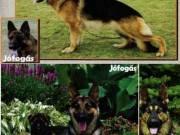 Németjuhász felnőtt szukák és könyök kutyák