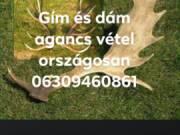 Gím és dám agancs vétel országosan 06309460861