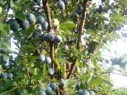 Gyümölcsfa csemeték eladók őstermelőtől