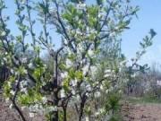 Penyigei nem tudom szilva fa,és Milotai 10-es diófa csemete eladó.
